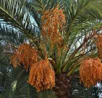 Разновидности финиковых пальм фото. Фото фиников и виды финиковых пальм