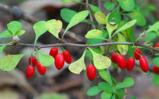 Ягоды для сада. Ягоды все лето — какие кустарники посадить в саду
