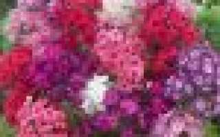 Флоксы низкорослые многолетние фото. Флоксы в саду: способы размножения, особенности посадки и ухода