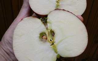 Яблоня медовое описание сорта фото отзывы. Яблоня «Медовое»