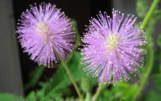 Семена мимозы стыдливой фото. Мимоза стыдливая: фото, выращивание из семян, особенности ухода