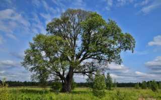 Плоды вяза картинки. Дерево вяз, описание и фото: плоды и листья вяза, как выглядит