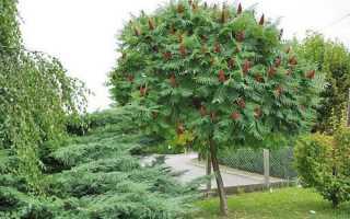 Уксусное дерево посадка осенью. Уксусное дерево посадка и уход в открытом грунте