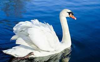 Сколько лет живут лебеди. Лебедь птица. Образ жизни и среда обитания лебедя