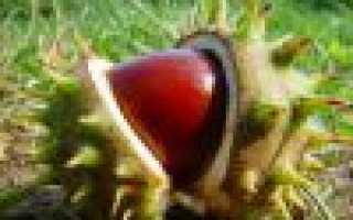 Чем подкормить каштан осенью. Дерево каштан: правила посадки и ухода