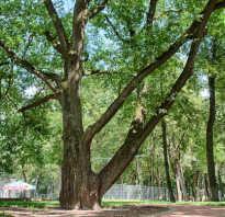 Название деревьев в россии с картинками. Лесные породы деревьев и кустарников средней полосы России