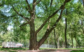 Южные деревья фото и названия. Южные деревья фото и названия