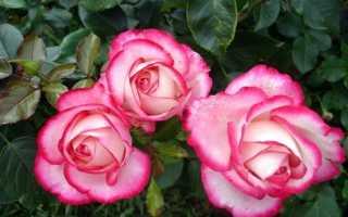 Роза юбилей принца монако фото. Роза Принц Монако: флорибунда с градиентной окраской лепестков