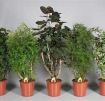 Полисциас кустарниковый фото. Полисциас: 10 видов с фото и правила выращивания