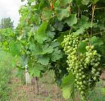 Опора для винограда на даче. Опора для винограда своими руками: варианты и правила изготовления