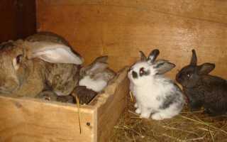 Сколько носит кролик беременность. Беременность у кроликов