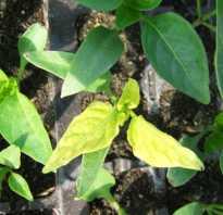 Перец желтеет и сбрасывает листья. Что делать, когда желтеют и опадают листья у рассады перца