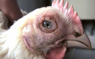 Конъюнктивит у кур лечение. Болезни глаз у кур: инфекционные, травмы, конъюнктивит, лечение