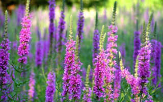 Трава дербенник лечебные свойства и противопоказания. Дербенник иволистный лечебные свойства и противопоказания