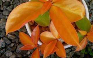 Переския листовой кактус. Кактус переския: уход в домашних условиях, разновидности растения
