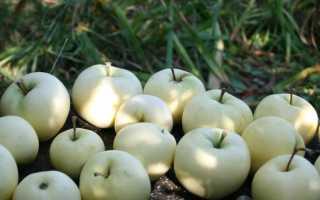Яблоня белый налив опылители. Яблоня Белый налив (Папировка): описание и характеристика сорта, фото, отзывы, посадка