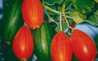 Красный огурец отзывы. Тладианта (красные огурцы): характеристика, описание и отзывы