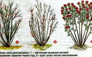 Парковая роза уход на зиму. Обрезка парковых роз