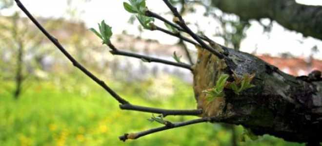 Прививка яблонь осенью видео. Как правильно привить яблоню – все о способах, сроках и последующем уходе