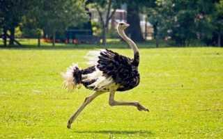 Скорость страуса при беге км ч. Скорость бега страуса