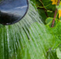 Полив огурцов в теплице как часто. Как поливать огурцы в теплице из поликарбоната
