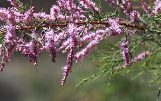 Тамарикс фото и описание. Бисерный кустарник тамарикс и его выращивание