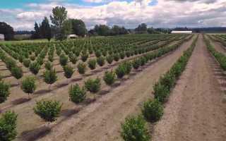 Плоды орешника фото. Лещина (орешник): выращивание, посадка и уход, обрезка и сорта