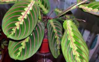 Маранта триколор уход в домашних условиях. Маранта триколор: характеристика растения и правила ухода в домашних условиях