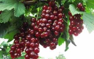 Красная смородина вишневая описание сорта. Характеристика и описание лучших сортов красной смородины