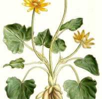 Чистяк растение фото.