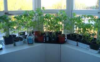 Можно ли выращивать помидоры в квартире. Выращивание помидоров на подоконнике в квартире