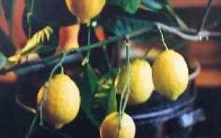 Сорта комнатных лимонов с фото и описанием. Комнатный лимон. Перечень сортов.