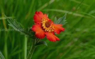 Цвет гравилат. Гравилат: сорта и виды яркого и красочного растения
