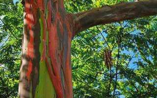 Что такое эвкалипт дерево или трава. Вы точно человек?