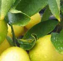 Цитрофортунелла лимон уход в домашних условиях. Лимон Цитрофортунелла