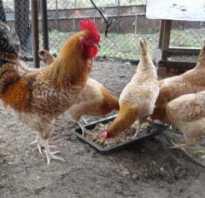 Царскосельские куры фото. Царскосельские куры – эффектный экстерьер и отличная продуктивность