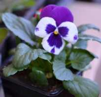 Проращивание семян виолы. Выращивание Виолы В Теплице Однолетним Способом: Важная Инструкция