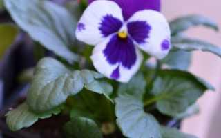 Нужно ли прищипывать виолу. Выращивание виолы на приусадебном участке: советы и правила