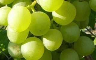 Сорт винограда белое чудо фото и описание. Виноград Белое Чудо: особенности сорта