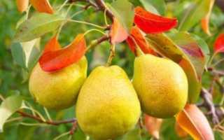 У груши покраснели листья что делать. Почему могут покраснеть листья на груше