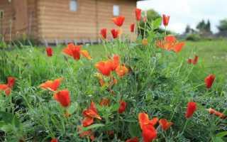 Трава эшшольция. Эшшольция: лечебные свойства и противопоказания, польза и вред. Эшшольция свойства лечебные