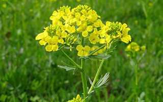 Трава сурепка фото. Растение сурепка: лечебные свойства, состав, применение