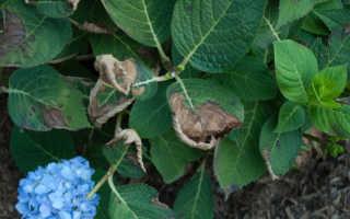 Почему у гортензии сохнут листья по краям. У гортензии сохнут листья, что делать? 5 основных факторов