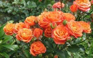 Роза спрей желтый фото и описание. Розы спрей: особенности, сорта и правила ухода