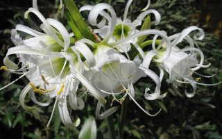Цветок исмена фото. Исмене Фесталис в открытом грунте