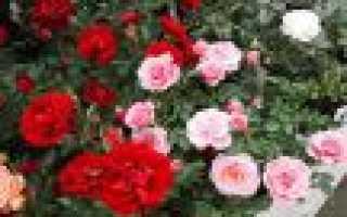 Роза патио в открытом грунте. Как ухаживать за розой Патио в саду и домашних условиях