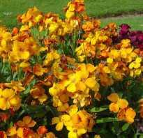 Лакфиоль снежная королева выращивание. Элегантный цветок лакфиоль: выращивание из семян, посадка и уход