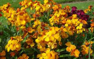 Лакфиоль снежная королева фото. Цветок лакфиоль (хейрантус) – выращивание