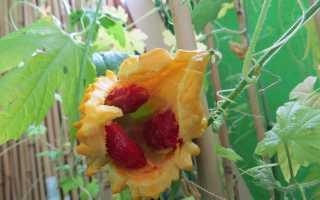 Момордика выращивание в подмосковье. Определяемся со сроками посева семян момордики. Выращиваем китайский огурец на своем участке