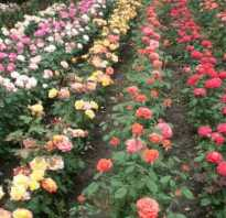Роза спрей шайн. Что такое роза спрей: описание, фото, посадка и уход